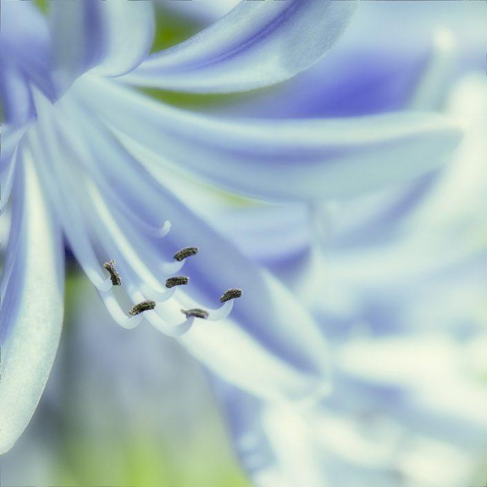 fleur-etamine-couleur