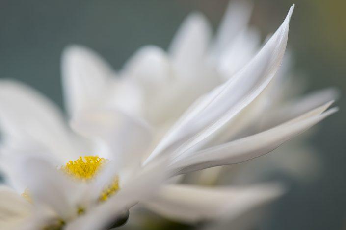 fleur-macro-couleur